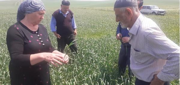 Агрономы Ингушского РСЦ обследовали около 7 тыс. га семенных участков озимых зерновых в Сунженском районе